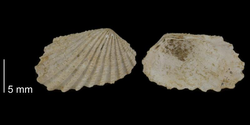 <i>Carditamera arata</i> from the Early Pleistocene James City Fm. of Beaufort County, North Carolina (PRI 70504).