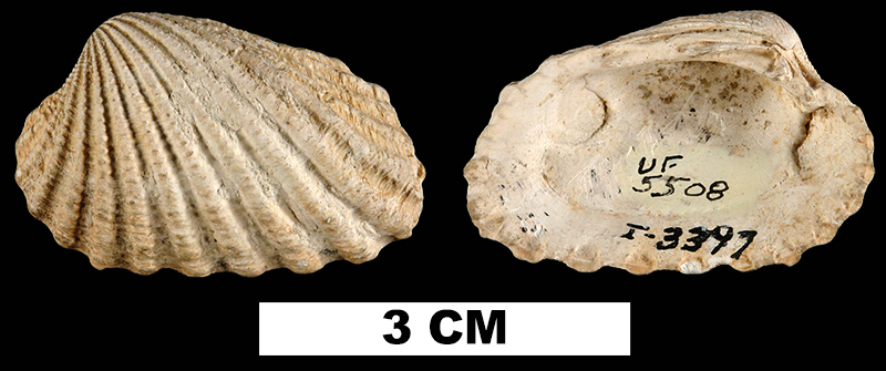 <i>Carditamera floridana</i> from the Plio-Pleistocene Caloosahatchee Fm. of Glades County, Florida (UF 5508).