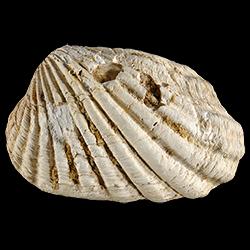 Carditamera tamiamiensis