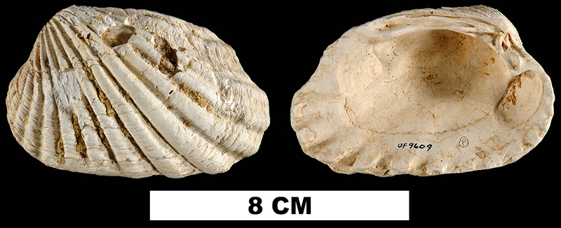 <i>Carditamera tamiamiensis</i> from the Plio-Pleistocene (formation unknown) of Sarasota County, Florida (UF 9609).