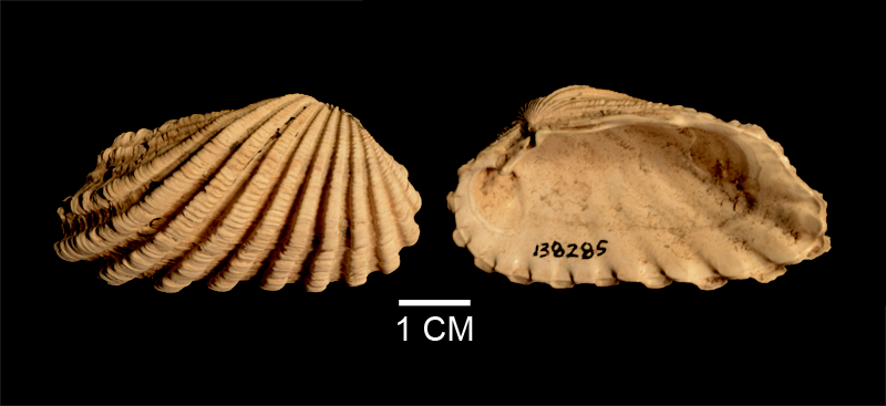 <i>Cardites floridanus</i> from the Late Pliocene Tamiami Fm. (Pinecrest Beds) of Sarasota County, Florida (SDSM 138285).
