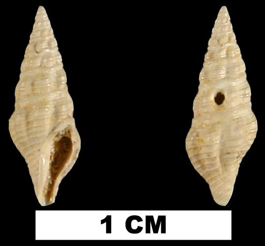 <i>Carinodrillia cymatoides</i> from the Early Miocene Chipola Fm. of Calhoun County, Florida (UF 94243).