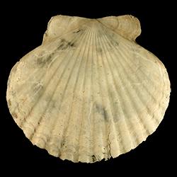 Carolinapecten eboreus
