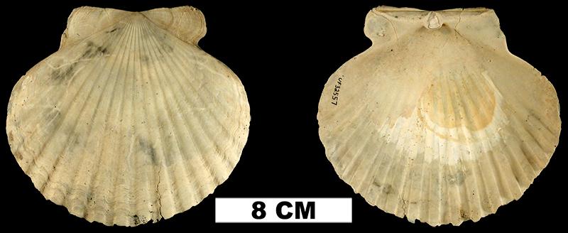 <i>Carolinapecten eboreus</i> from the Plio-Pleistocene (formation unknown) of Sarasota County, Florida (UF 32557).