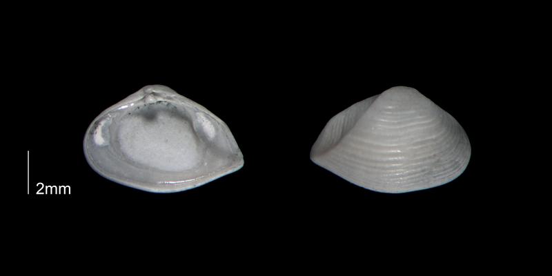<i>Caryocorbula auroraensis</i> from the Early Pleistocene Waccamaw Fm. of Brunswick County, North Carolina (PRI 70393-1).