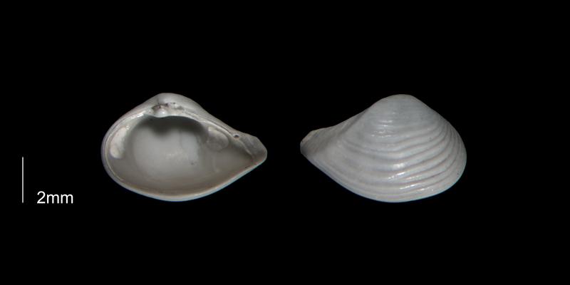 <i>Caryocorbula auroraensis</i> from the Early Pleistocene Waccamaw Fm. of Brunswick County, North Carolina (PRI 70393-2).