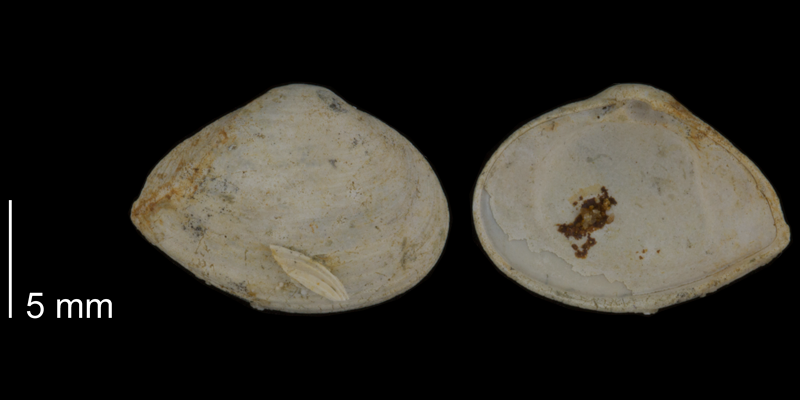 <i>Caryocorbula auroraensis</i> from the Early Pleistocene James City Fm. of Beaufort County, North Carolina (PRI 70503).