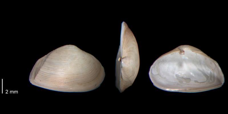 <i>Caryocorbula contracta</i> from the Early Pleistocene James City Fm. of Beaufort County, North Carolina (PRI 70477).