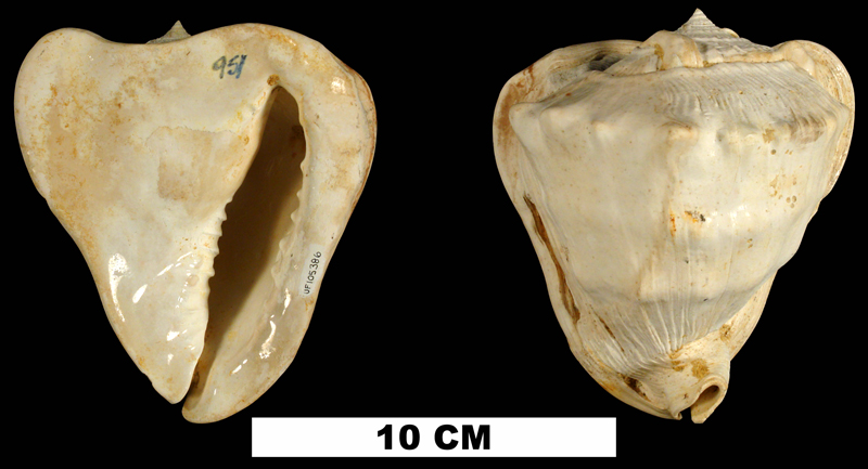<i>Cassis delta</i> from the Early Miocene Chipola Fm. of Calhoun County, Florida (UF 105386).