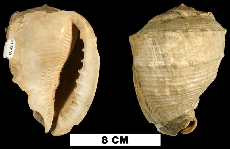 <i>Cassis floridensis</i> from the Plio-Pleistocene (formation unknown) of Sarasota County, Florida (UF 32183).