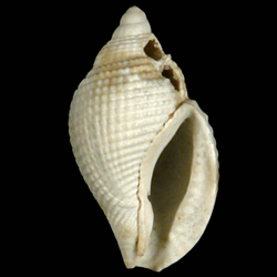Celatoconus nux