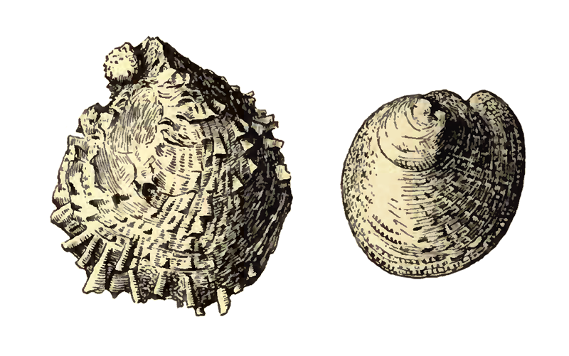 Specimen of <i>Chama chipolana</i> figured by Dall (1903, pl. 56, fig. 19 and 20); 27.0mm and 22.0 mm in length, respectively.