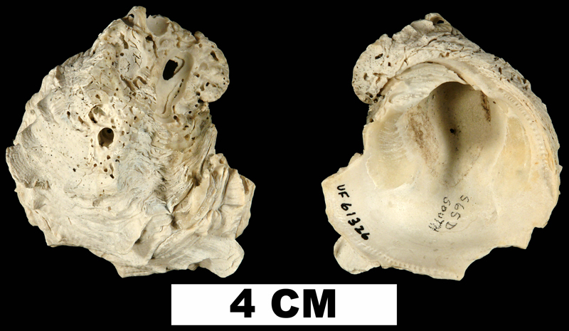 <i>Chama corticosa</i> from the Late Pliocene Tamiami Fm. (Pinecrest Beds) of Okeechobee County, Florida (UF 61326).
