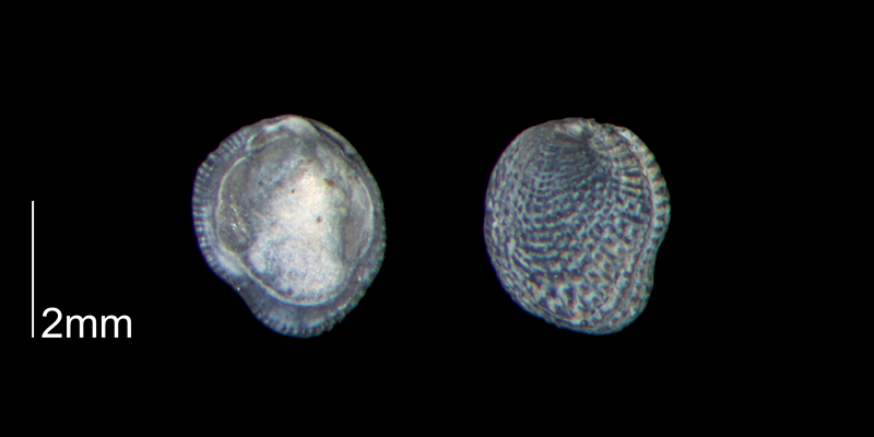 <i>Chama gardnerae</i> from the Early Pleistocene Waccamaw Fm. of Brunswick County, North Carolina (PRI 70443).