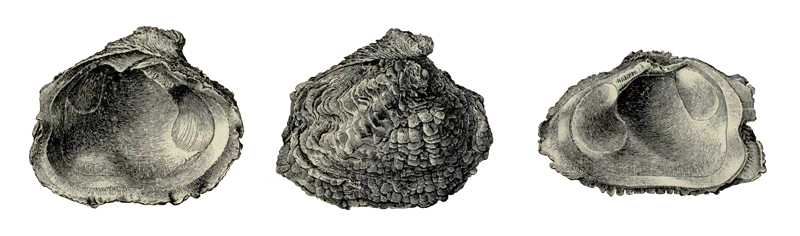 Specimen of <i>Chama willcoxi</i> figured by Dall (1900, pl. 41, fig. 5, 6, and 7); 85 mm in length.