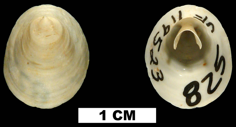<i>Cheilea uncinata</i> from the Early Miocene Chipola Fm. of Calhoun County, Florida (UF 119523).