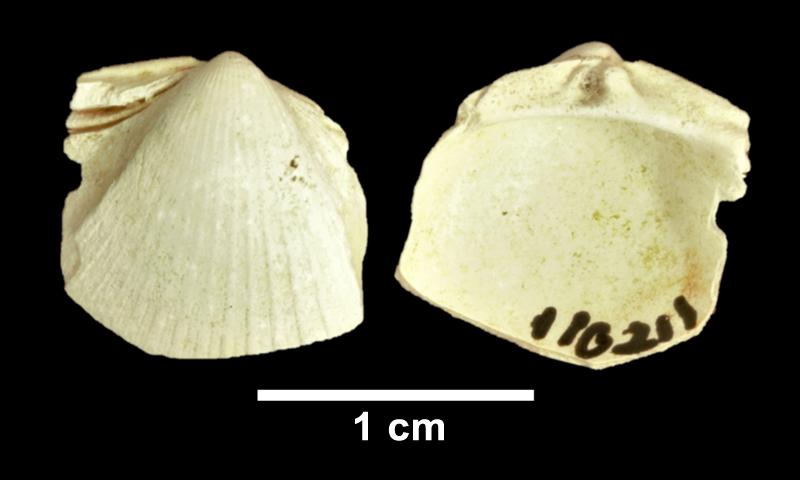 <i>Chesacardium laqueatum</i> from the Late Pliocene Yorktown Fm. of Frederick County, Virginia (SDSM 110211).