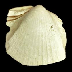 Chesacardium laqueatum