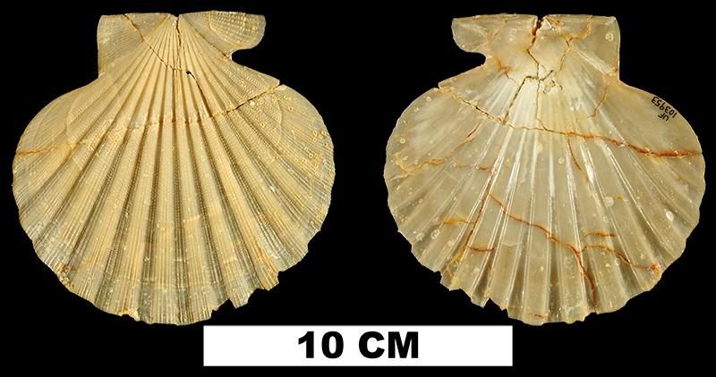 <i>Chesapecten sayanus</i> from the Early Miocene Oak Grove Sand of Washington County, Florida (UF 103953).