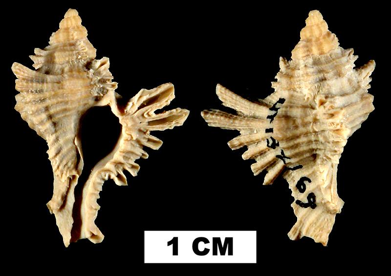 <i>Chicoreus florifer</i> from the Early Pleistocene Caloosahatchee Fm. or Middle Pleistocene Bermont Fm. of Palm Beach County, Florida (UF 132169).
