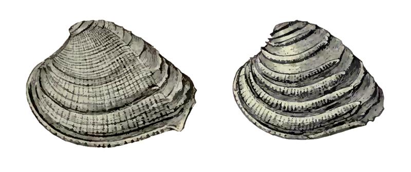 Specimen of <i>Chione burnsii</i> figured by Dall (1900, pl. 42, fig. 4 and 11); left specimen 34.0 mm in length.