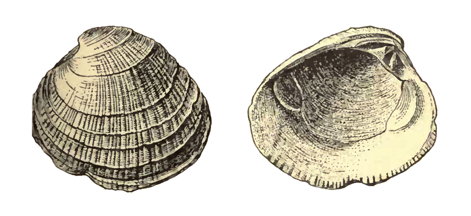 Specimen of <i>Chione erosa</i> figured by Dall (1903, pl. 55, fig. 5 and 8); 35.0 mm in length.
