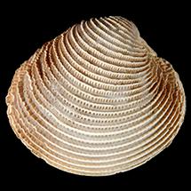 Chionopsis