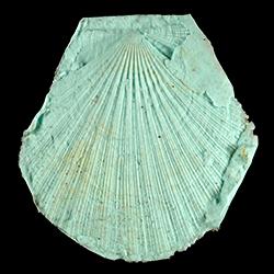 Chlamys nematopleura