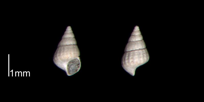 <i>Chrysallida beaufortensis</i> from the Early Pleistocene James City Fm. of Beaufort County, North Carolina (PRI 70474).