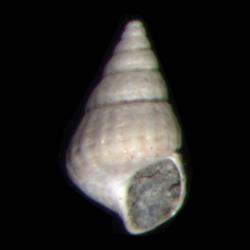 Chrysallida beaufortensis