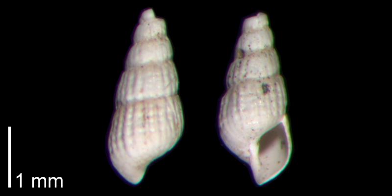 <i>Chrysallida beaufortensis</i> from the Early Pleistocene James City Fm. of Beaufort County, North Carolina (PRI 70499)