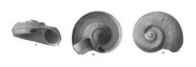Specimen of <i>Circulus anthera</i> figured by Gardner (1947, pl. 61, fig. 3, 26, and 28); 3.8 mm in length.