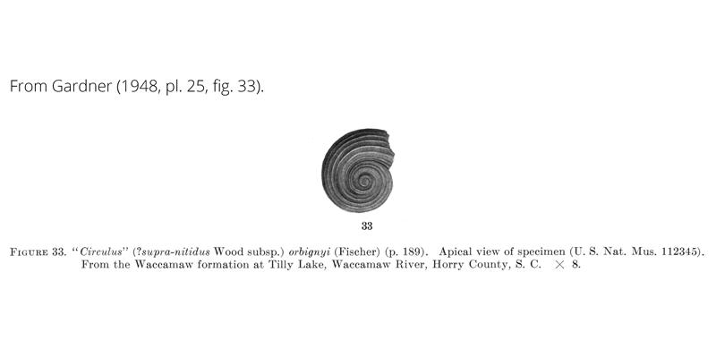 <i>Circulus orbignyi</i> from Gardner (1948), pl. 25, fig. 33. USNM 112345. Waccamaw Formation, Horry County, South Carolina.
