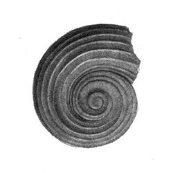 Circulus orbignyi