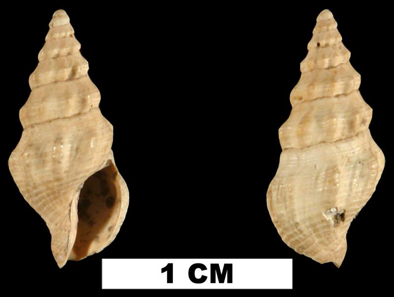 <i>Clathrodrillia anteaphanitoma</i> from the Late Pliocene Jackson Bluff Fm. of Leon County, Florida (UF 79806).