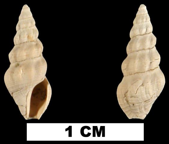 <i>Clathrodrillia gracilina</i> from the Late Pliocene Jackson Bluff Fm. of Leon County, Florida (UF 78704).