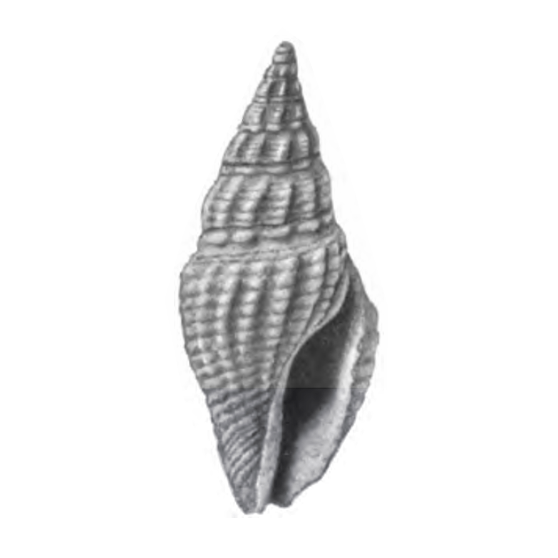 Specimen of <i>Clavatula apoia</i> figured by Gardner (1938, pl. 39, fig. 19); 13.5 mm in length.