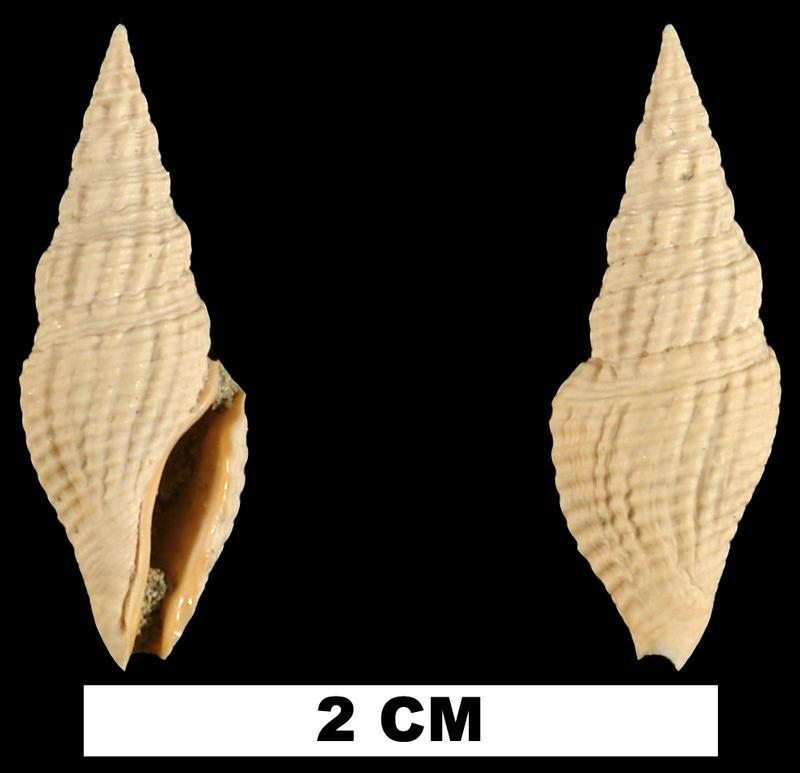 <i>Clavatula apoia</i> from the Early Miocene Chipola Fm. of Calhoun County, Florida (UF 101844).