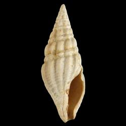 Clavatula habra