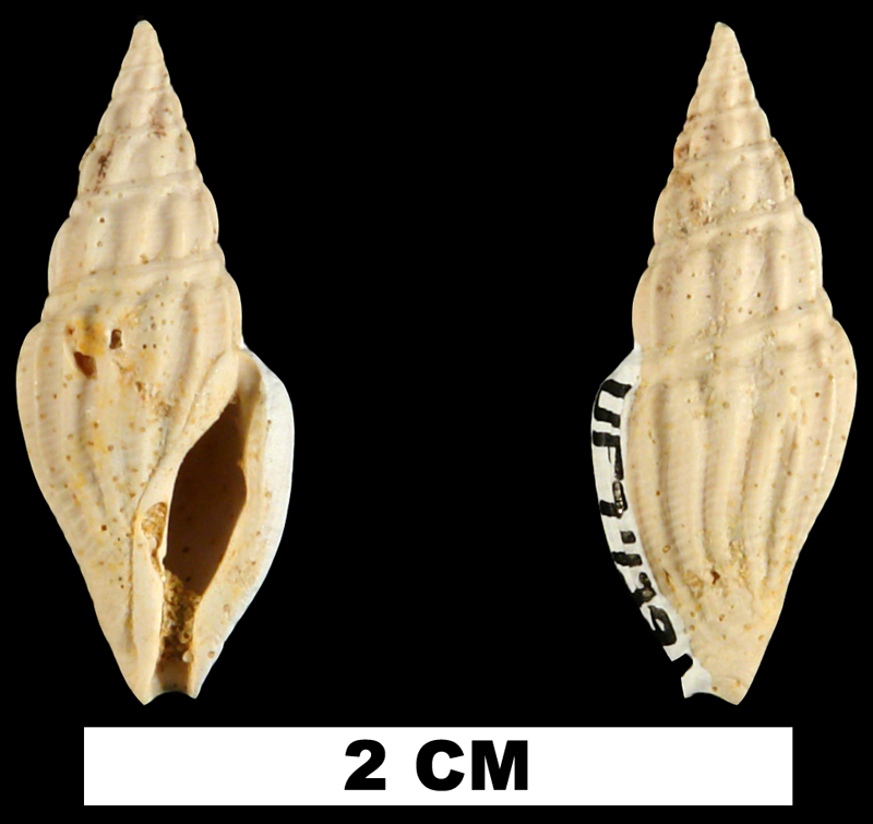 <i>Clavatula vandenbroecki</i> from the Early Miocene Chipola Fm. of Calhoun County, Florida (UF 74391).