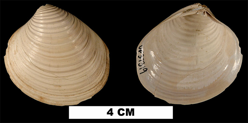 <i>Clementia grayi</i> from the Early Miocene Chipola Fm. of Calhoun County, Florida. (UF 37319).