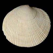 Codakia orbicularis