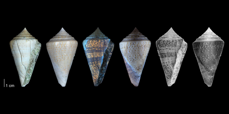<i>Conasprella delessertii</i> from the Pleistocene Bermont Fm. of Miami-Dade County, Florida (PRI 54698). Specimen is shown under regular and ultraviolet light, which causes the original coloration pattern to be revealed.