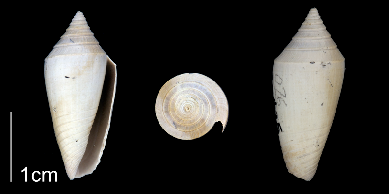 <i>Conasprella marylandica</i> from the Late Pliocene Tamiami Fm. (Pinecrest Beds) of Sarasota County, Florida (PRI 70346).