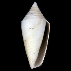 Conasprella marylandica