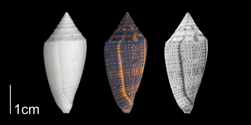 <i>Conasprella marylandica</i> from the Plio-Pleistocene of Highlands County, Florida shown under regular and ultraviolet light, which causes the original coloration pattern to be revealed (PRI 70613).