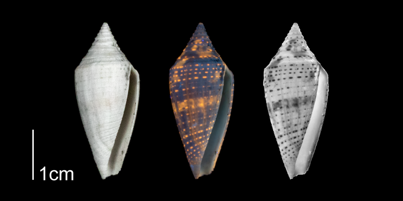 <i>Conasprella onisca</i> from the Plio-Pleistocene of Highlands County, Florida shown under regular and ultraviolet light, causing its original coloration pattern to be revealed (PRI 70612).