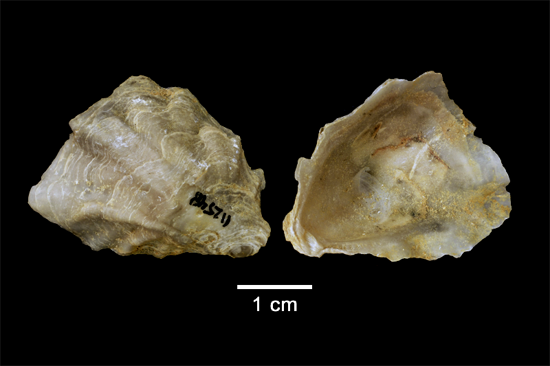 <i>Conradostrea sculpturata</i> from the Late Pliocene Yorktown Fm. of Isle of Wight County, Virginia (SDSM 112548).
