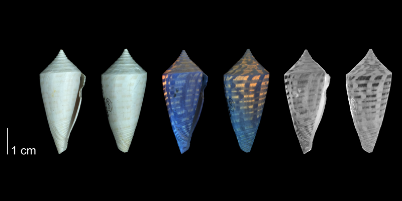 <i>Conus anabathrum</i> from the Plio-Pleistocene of Highlands County, Florida shown under regular and ultraviolet light, which causes the original coloration pattern of the shell to be revealed (PRI 54668).