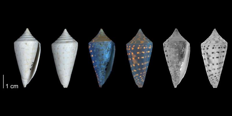 <i>Conus anabathrum</i> from the Plio-Pleistocene of Highlands County, Florida shown under regular and ultraviolet light, which causes the original coloration pattern of the shell to be revealed (PRI 54676).